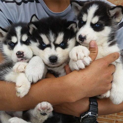 Perros Husky Siberiano de venta en Ecuador - Tienda de mascotas Super Pet